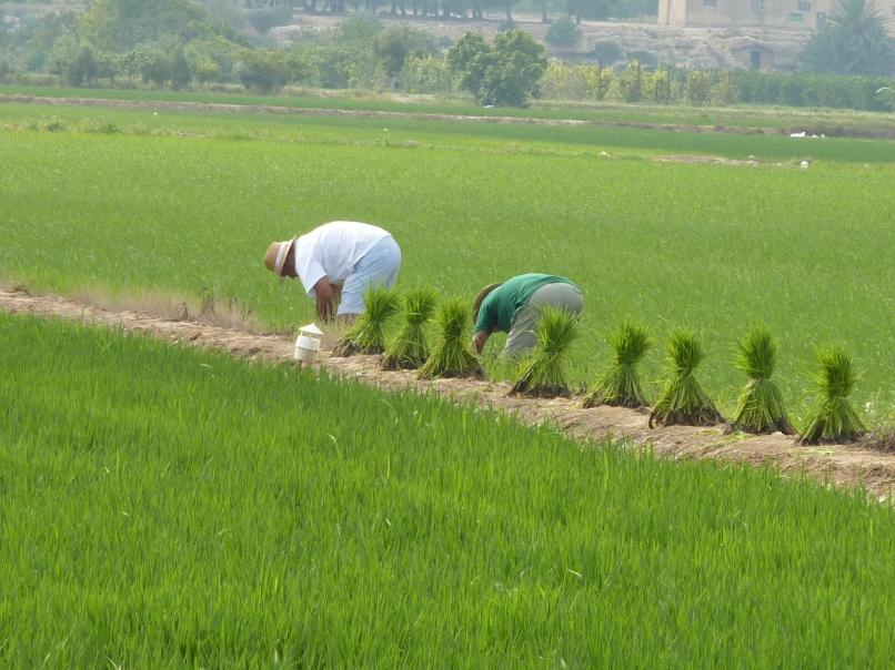 Rice workers - Deltebr0